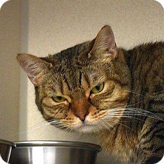 Domestic Shorthair Cat for adoption in Denver, Colorado - Bobbie