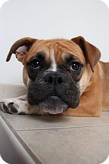 English Bulldog/Boxer Mix Dog for adoption in Edina, Minnesota - Sally D161794: PENDING ADOPTION