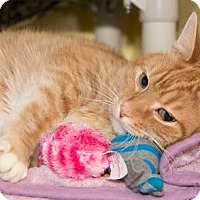 Adopt A Pet :: Ginger - Lowell, MA