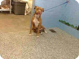 Pit Bull Terrier Dog for adoption in San Bernardino, California - URGENT ON 12/6  San Bernardino