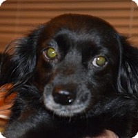 Spaniel (Unknown Type) Mix Dog for adoption in Seattle, Washington - Curly Sue Bell