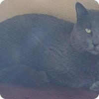 Adopt A Pet :: Mr. Grey - Chula Vista, CA