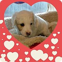 Adopt A Pet :: Valentine Litter: My Love - Akron, OH