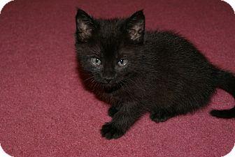 Domestic Mediumhair Kitten for adoption in Trevose, Pennsylvania - Pennzoil