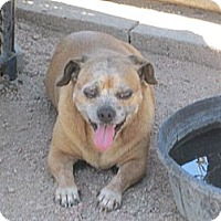 Pug/Dachshund Mix Dog for adoption in Dodge City, Kansas - Baby Girl