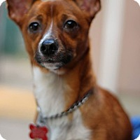 Adopt A Pet :: Lil Brownie - Tinton Falls, NJ