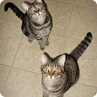 Domestic Shorthair Cat for adoption in Merrifield, Virginia - Tango