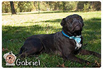 Bullmastiff/Terrier (Unknown Type, Medium) Mix Dog for adoption in Portland, Oregon - A -Gabriel