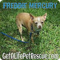 Chihuahua Dog for adoption in Wellington, Florida - Freddie Mercury