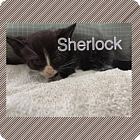 Adopt A Pet :: Sherlock - Plant City, FL