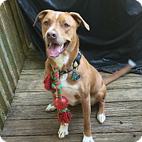 Adopt A Pet :: Bo - Nashville, TN