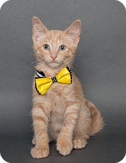 Domestic Shorthair Kitten for adoption in Wyandotte, Michigan - Vic
