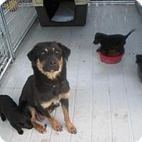 Adopt A Pet :: Shammy - New palestine, IN