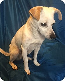 Terrier (Unknown Type, Small)/Chihuahua Mix Dog for adoption in San Leandro, California - Geena