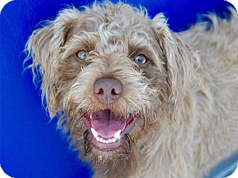 Terrier (Unknown Type, Small) Mix Dog for adoption in Long Beach, California - Lobster