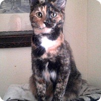 Domestic Shorthair Cat for adoption in Harrisonburg, Virginia - Scarlett