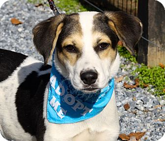 Beagle/Jack Russell Terrier Mix Puppy for adoption in West Grove, Pennsylvania - Frisco