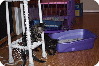 Domestic Shorthair Kitten for adoption in St. Louis, Missouri - Knobi