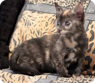 Domestic Shorthair Kitten for adoption in Concord, North Carolina - Torie