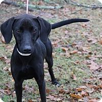 Whippet/Labrador Retriever Mix Dog for adoption in Conway, Arkansas - Otto