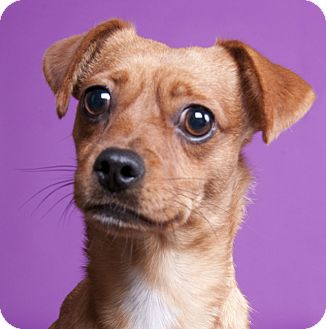 Chihuahua Mix Dog for adoption in Chicago, Illinois - Brandy