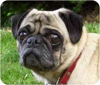 Pug Dog for adoption in Edmeston, New York - Moe-NY
