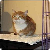 Adopt A Pet :: Tiger Bum - Alexandria, VA