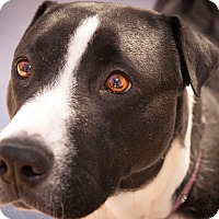 Adopt A Pet :: Molly - Surprise, AZ