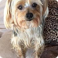 Adopt A Pet :: Shichai - Orlando, FL