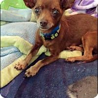 Adopt A Pet :: Zorro - Brooksville, FL