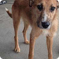 Adopt A Pet :: Collie/Boxer male - Pompton lakes, NJ
