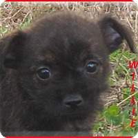 Adopt A Pet :: Billie- Adoption Pending - Marlborough, MA
