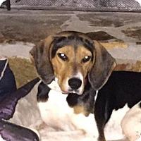 Treeing Walker Coonhound Dog for adoption in Berwick, Pennsylvania - Ella