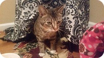 Domestic Shorthair Cat for adoption in Allentown, Pennsylvania - Parsnip (ETAA)