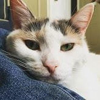 Domestic Shorthair Cat for adoption in New York, New York - Ava