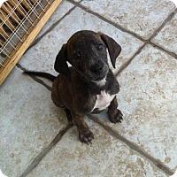 Adopt A Pet :: Duke - Doylestown, PA