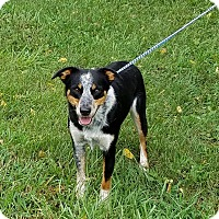 Cattle Dog Mix Dog for adoption in Atchison, Kansas - Timmy