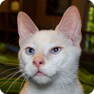 Siamese Cat for adoption in Fairfax, Virginia - Caterpie