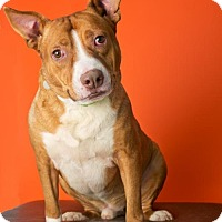 American Staffordshire Terrier Mix Dog for adoption in Roanoke, Virginia - WISHBONE