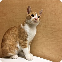 Domestic Shorthair Kitten for adoption in Spring Brook, New York - Pumpkin