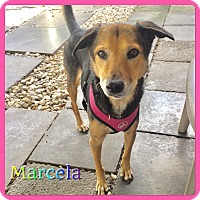 Adopt A Pet :: Marcela - Hollywood, FL