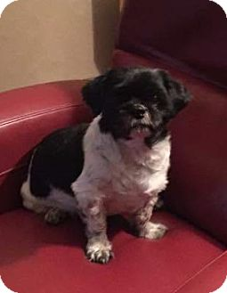 Lhasa Apso Mix Dog for adoption in Dallas, Texas - Denny