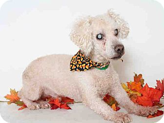 Poodle (Miniature) Mix Dog for adoption in Beverly Hills, California - A1664305 is at North Central