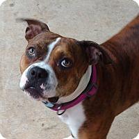 Adopt A Pet :: Desi - Charlotte, NC