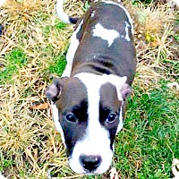 Adopt A Pet :: Serenity - Indianapolis, IN