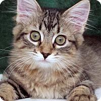Domestic Longhair Cat for adoption in St Louis, Missouri - Diane