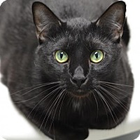 Domestic Shorthair Cat for adoption in Atlanta, Georgia - Shadow	160233