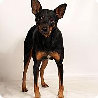 Adopt A Pet :: Skippy MinPin Mix - St. Louis, MO