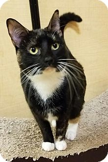 Domestic Shorthair Cat for adoption in Oklahoma City, Oklahoma - Felicia