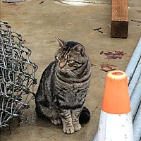 Domestic Shorthair Cat for adoption in Roseburg, Oregon - Barn cats